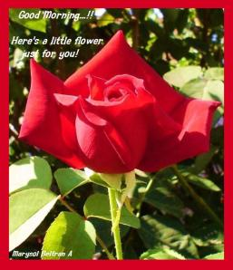 Home-Grown-roses-11550261-600-704