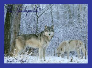 gray-wolves-in-snow-beautiful-kewl