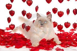 ragdoll-cat-red-rose-petals-red-hearts-9901689