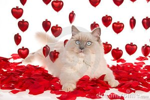 ragdoll-cat-red-rose-petals-red-hearts-9901689