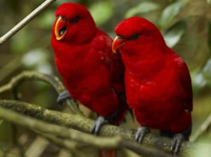 Red_Birds_Wallpaper_1eh0i