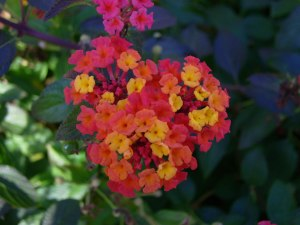 Heart-shaped-lantana-Spain